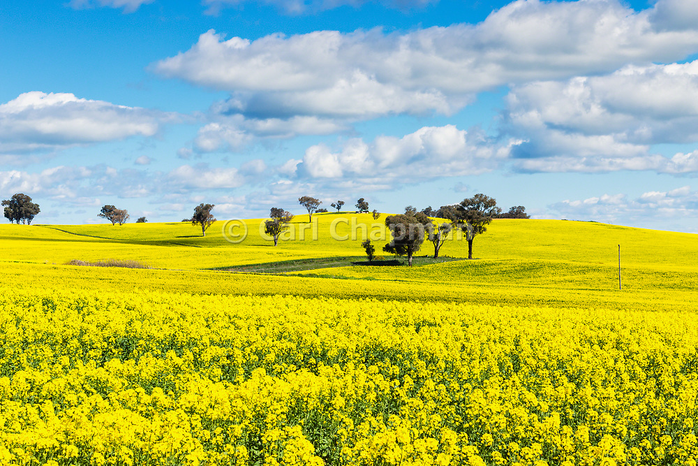 trees on hill in a field of flowering canola crop under blue sky and cumulus cloud at Woodstock, New South Wales, Australia.