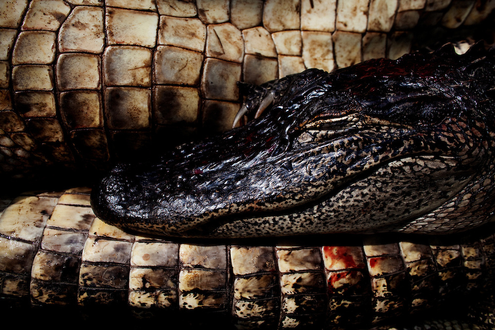 A stack of recently caught alligators in the bottom of the boat manned by Julius Gaudet, 62, and Rebel as they hunted near Shell Island, Louisiana on Saturday, September 19, 2009.