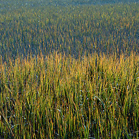 Marsh grass displays variety of colors in sunlight in South Carolina Huntington State Park