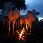 Cows gather by a fire made especially for them as the sun goes down over a Dinka cattle camp. Cows are Dinkaland's diamonds. They are exchanged upon marriage and handed out as prized gifts. They stand for beauty, status and wealth, and the Dinka are so devoted to them, that they would rather live off milk (with a little sorghum here and there) than steak.