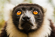 Black-and-white ruffed lemur (Varecia variegata) portrait