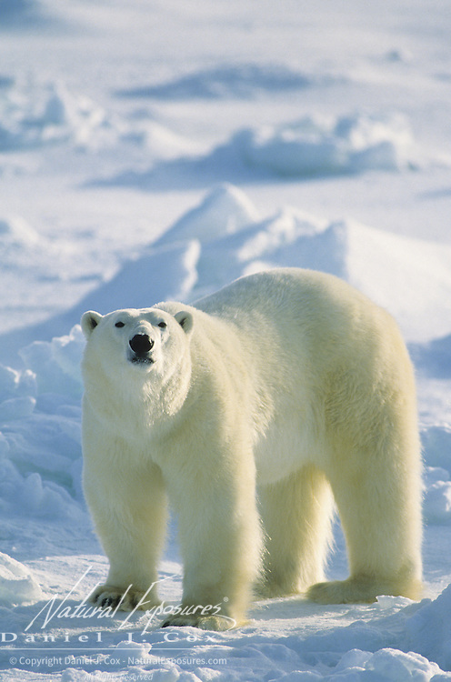 Polar Bear portrait of an adult. Hudson Bay, Canada
