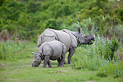 Indian Rhinioceros, mother with calf, Kizaranga National Park, Assam, India