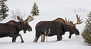 Primarily solitary, bull moose often form small bachelor herds outside the breeding season, including during the winter months. This pair, who have been together for months, was seen foraging for willow in the deep snow of the Shoshone National Forest.