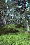 Abernethy Forest, Scotland, UK