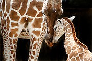 "May 22, 2014 - Marilyn, a prolific giraffe at the Memphis Zoo, gets to know her latest baby, Tamu Massif, who was born on May 16th. His name means ""sweet giant"" and the week old baby giraffe was frolicking in the exhibit on Thursday morning. She is a reticulated giraffe, also known as the Somali giraffe, is a subspecies of giraffe native to Somalia, southern Ethiopia, and northern Kenya."