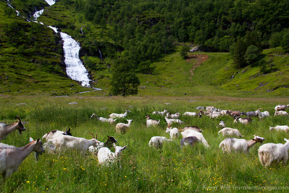 Europe, Norway, Flam. Goats of Flam.