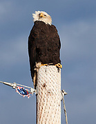 Aging Bald Eagle near Bellingham, Washington. The eagle with its severely deformed talons and the tattered flag (which was probably left behind from a July 4th celebration many months earlier) seem sadly emblematic of these painful times