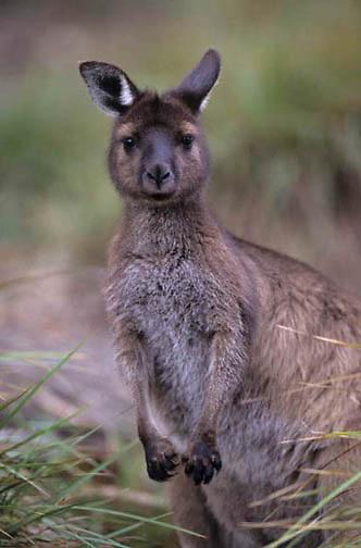 Western Gray Kangaroo, (Macropus fuliginosus) Kangaroo Island. Australia.