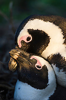 African Penguin pair mating, Bird Island, Algoa Bay, Eastern Cape, South Africa