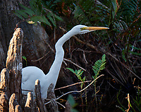 Great Egret outside Clyde Butcher's Gallery. Winter Nature in Florida. Image taken with a Fuji X-T2 camera and 100-400 mm OIS telephoto zoom lens.