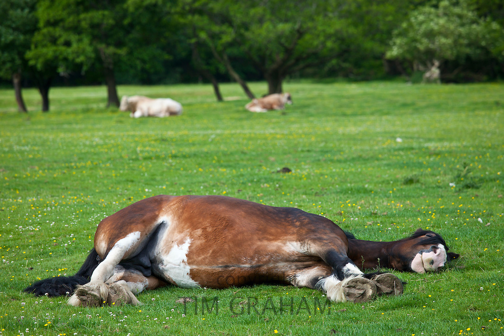 Welsh horse sleeping in meadow in Snowdonia, Gwynedd, Wales