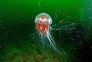 Lion's Mane jellyfish, Cyanea capillata, underwater, west Scotland.