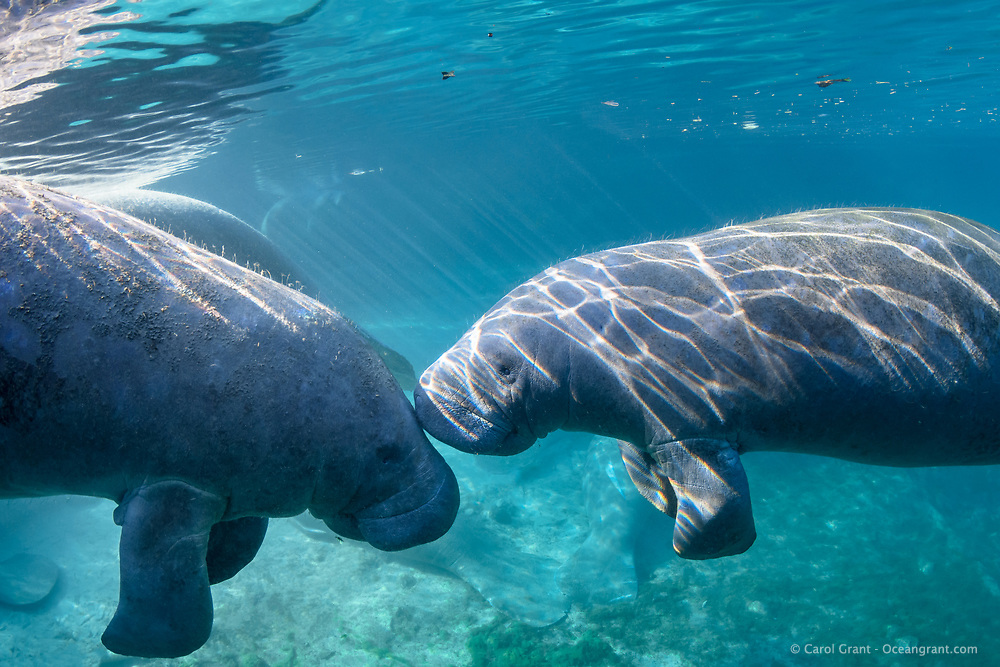 A male manatee gently touches the forehead of a female manatee. These gentle intimate nudges are not uncommon between male and female manatee. This is a recent image from March 2018. Florida manatee, Trichechus manatus latirostris, a subspecies of the West Indian manatee, endangered. Three Sisters Springs, Crystal River National Wildlife Refuge, Kings Bay, Crystal River, Citrus County, Florida USA. IUCN Red List: Endangered. USFWS implemented downlisting to Threatened 2017: http://www.iucnredlist.org/details/22106/0. Taken under USFWS SUP Permit