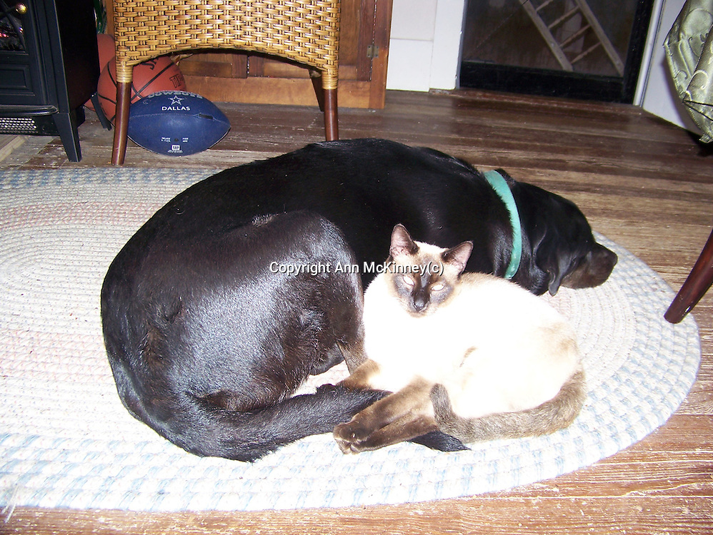 Black Lab and Siamese Cat, best buddies