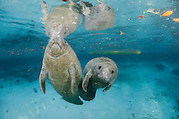 Florida manatee, Trichechus manatus latirostris, a subspecies of the West Indian manatee, endangered. Two male manatee calves take a break from intimate play for one to catch a breath at the surface. One of a series of calf intimate play or cavorting play behaviors. Horizontal orientation and blue water with manatees resting and a kayak in the background. Three Sisters Springs, Crystal River National Wildlife Refuge, Kings Bay, Crystal River, Citrus County, Florida USA.