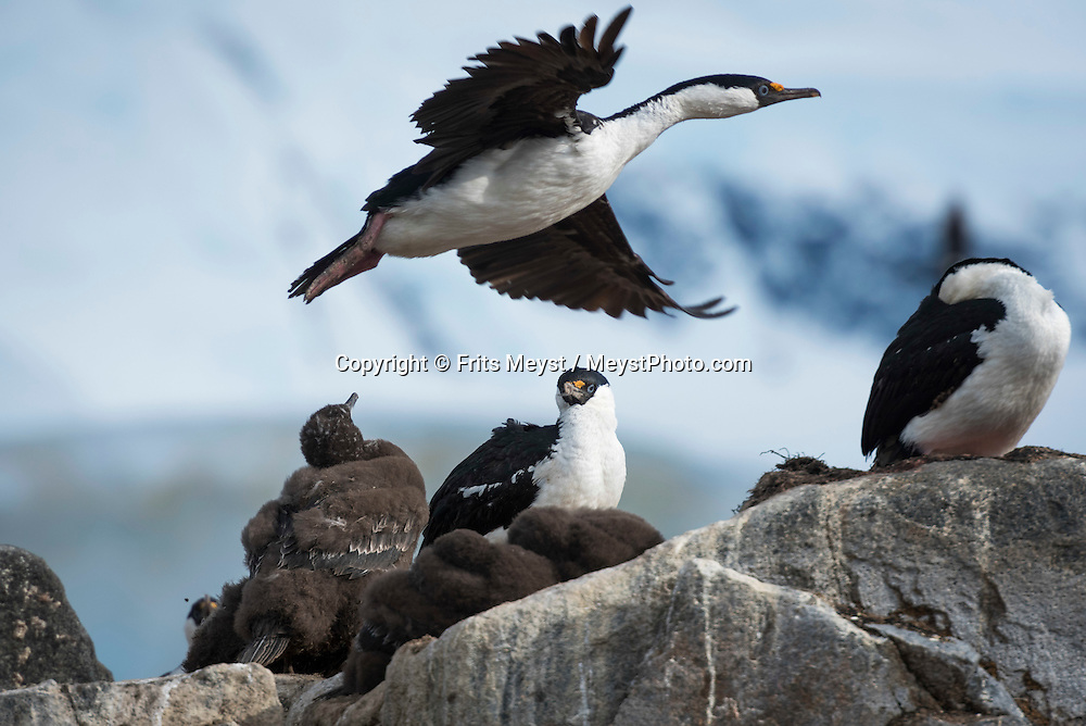 Port Lockroy, Antarctica, February 2016. Jougla Point, is the rocky tip of the large Wienke Island next to Goudier Island. The island holds the most dramatic mountain and glacier scenery in the region. Magnificent mountains at the background, nesting Gentoo pemguins, whalebones and a closeby colony of breeding Blue eye shags cormorant make this place a special location. Port Lockroy on Goudier Island is the Historical Base of the British Antarctic Survey (BAS), now taken care of by the United Kingdom Antarctic Heritage Trust. Dutch Tallship, Bark Europa, explores Antarctica during a 25 day sailing expedition. Photo by Frits Meyst / MeystPhoto.com