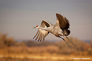 Sandhill Crane<br /> Bosque del Apache National Wildlife Refuge, New Mexico<br /> <br /> The different sub-species of Sandhill Crane vary greatly in size and weight. Lesser Sandhills, who breed at more northern latitudes such as the arctic, are the smallest, weighing on average about 6-7 pounds and standing 3-3.5 feet tall. At the other end of the extreme, Greater Sandhills like the one depicted in this image are the largest sub-species and average 4.5-5 feet tall and 10-14 pounds.<br /> <br /> Edition of 500
