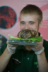 ZSL London Zoo's annual animal weigh-in.<br /> A zookeeper weighs a Giant African Land Snail during the ZSL London Zoo annual animal weigh-in. From big cats to tiny frogs, keepers spend hours each year recording every animals vital statistics, enabling them to keep a close check on their overall well-being,<br /> London, United Kingdom. Wednesday, 21st August 2013. Picture by Michael Graae / i-Images