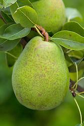 Pear 'Beurre Alexandre Lucas' - Pyrus