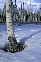 Aspen Trees in Snow, Coconino National Forest, Arizona