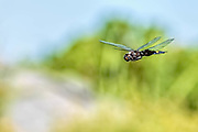 Black Saddlebag  dragonfly in flight