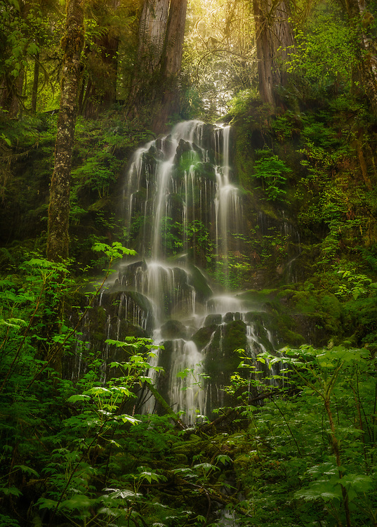 An epemeral waterfall spills out from the trees in the Quinault Rainforest after spring rains.  Olympic National Park, WA, USA