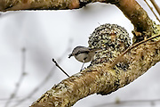 Blue-gray gnatcatcher and its nest