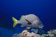 yellowtail grunt, Anisotremus interruptus, Galapagos Islands, Ecuador,  ( Eastern Pacific Ocean )