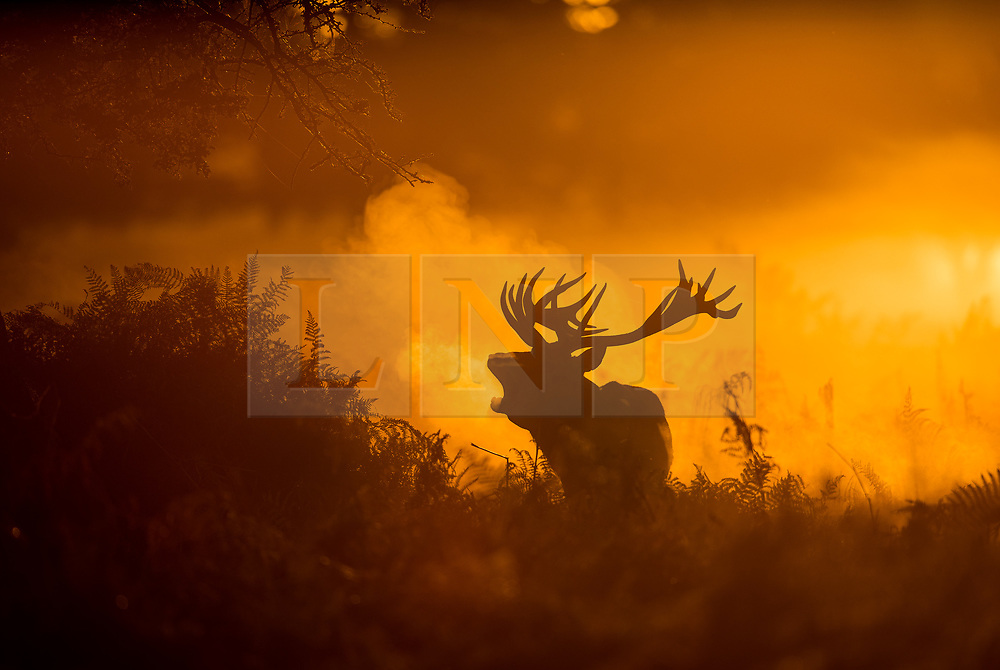© Licensed to London News Pictures. 06/10/2017. London, UK. A stag bellows at first light in Bushy Park. A high of 15 centigrade is expected in parts of the south today. Photo credit: Peter Macdiarmid/LNP