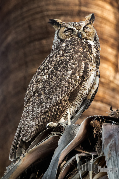 Great Horned Owl in palm tree, Coachella Valley Preserve, Riverside County, California