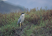 A Black Crowned Night Heron in the pickleweed and salt marsh plants of Los Peñasquitos Marsh. San Diego, CA.  USA