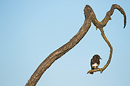 Black phoebe perching on branch, Sacramento National Wildlife Refuge, California