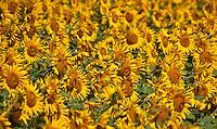 A field of beautiful, big yellow sunflowers in Aargau, Switzerland.  Happy photo full of sunshine.