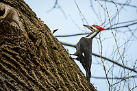 Pileated Woodpecker<br /> Dryocopus pileatus
