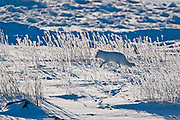 arctic fox (Alopex lagopus)<br />Churchill<br />Manitoba<br />Canada