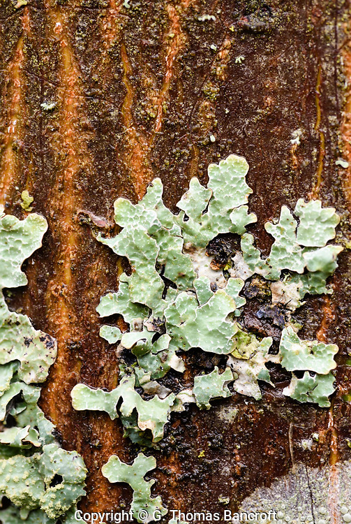 Shield Lichen - grey-green top and blackish below, appressed small lobes. ---  Bark Barnacle - continuous smooth crust, Barnacle-like apothecia
