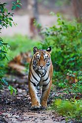 A wild Indian bengal tiger (Panthera tigris tigris) walking through the forest toward the camera,Bandhavgarh,Madhya Pradesh,India