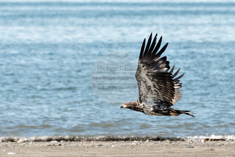A juvenile bald eagle takes flight along the beach at Anchor Point, Alaska.