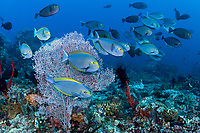 Surgeonfish hold in the current around a Sea Fan<br /> <br /> Shot in Indonesia