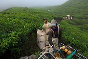 Best of Highlands Tea Plantation, Cameron Highlands, Malaysia