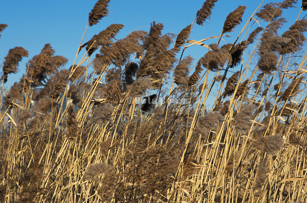 Reeds bending in the wind