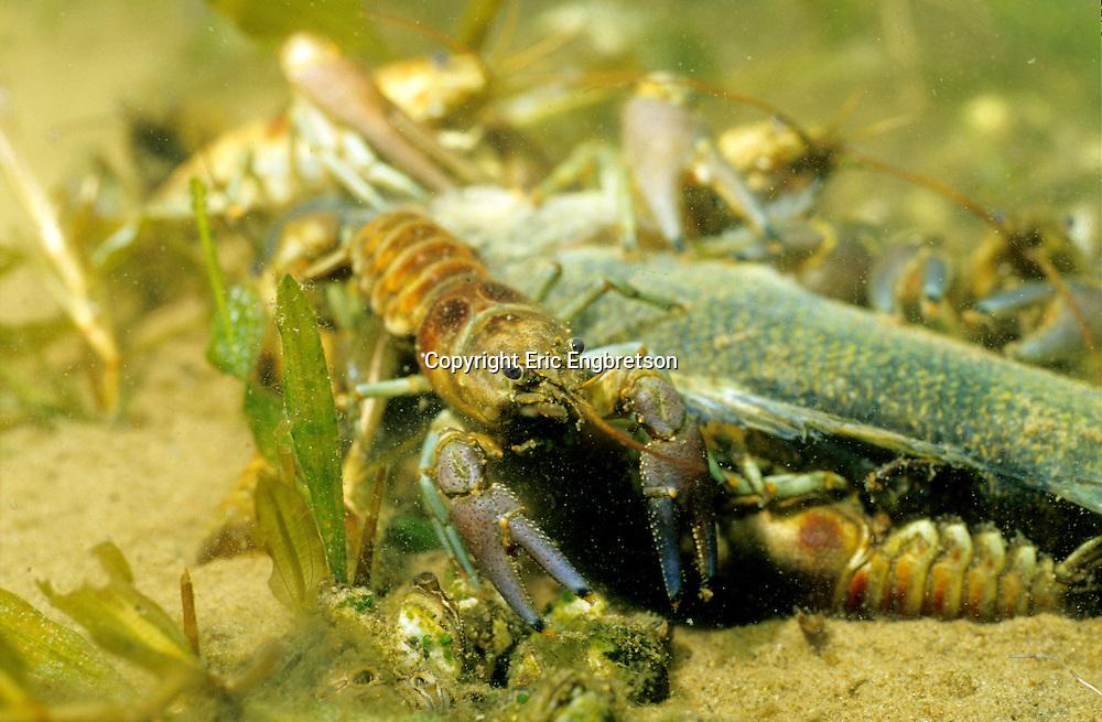Rusty Crayfish feeding on dead fish<br /> <br /> ENGBRETSON UNDERWATER PHOTO