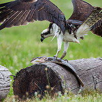 Osprey captures a summer flounder locally called a fluke.