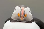 Atlantic puffin (Fratercula arctica) close up, Fair Isle, Scotland.