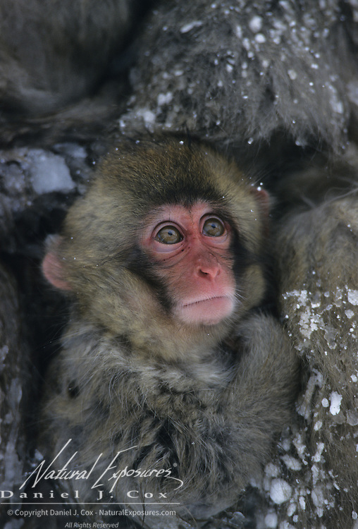 Snow Monkey or Japanese Red-faced Macaque (Macaca fuscata) portrait of a baby. Japan