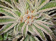 Live Cannabis Plant Photos