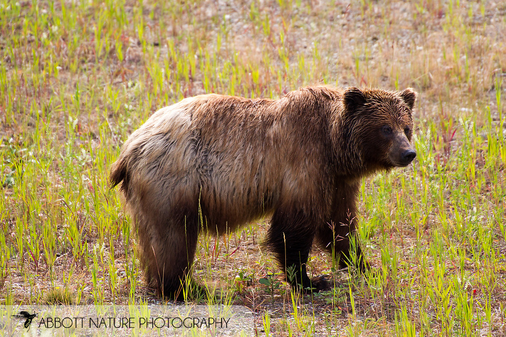 Grizzly Bear (Ursus arctos horribilis) - female<br /> CANADA: British Columbia (Stikine Region)<br /> along Alaska Highway<br /> 18-July-2012<br /> J.C. Abbott &amp; K.K. Abbott