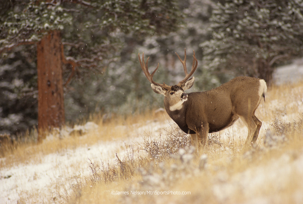12-1290. A mule deer buck displays a lip curl as snow falls during the rutting season in the Rocky Mountains.