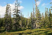 Skarvene og Roltdalen nasjonalpark. Gammel granskog ved  Stormoen i Roltdalen.  Foto: Bente Haarstad Norwegian forest and different trees. Gran (Picea abies), «Norway spruce», er et tre i furufamilien.